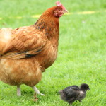 Photo 13_Mother hen and chick